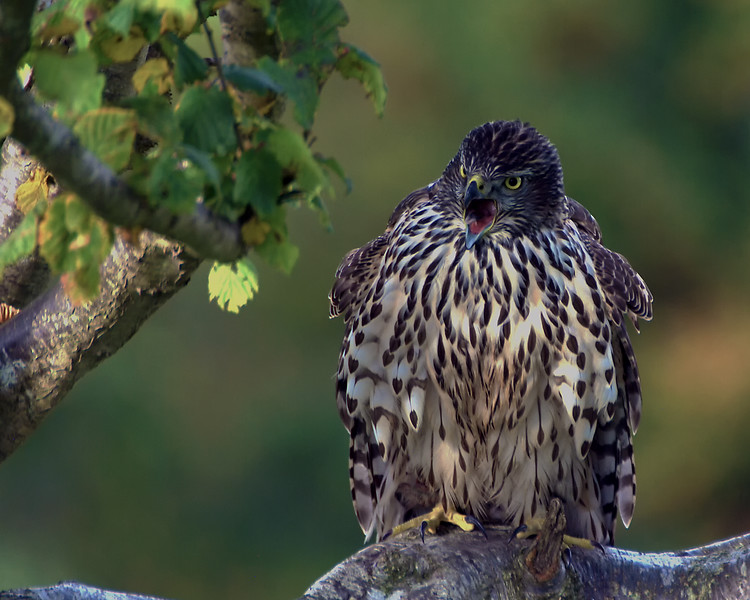 Young Goshawk.