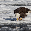 Bald Eagle on Ice