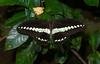 Butterfly,  Bali