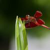 Irridescent , velvety dragonflies!