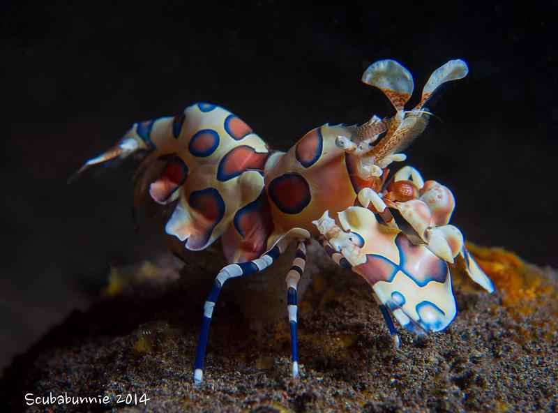 Seraya Secrets - Harlequin Shrimp - Bali by Tracey Jennings