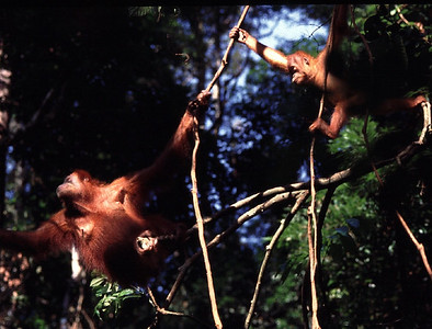 Orangutans swinging through the jungle of Sumatra, Indonesia