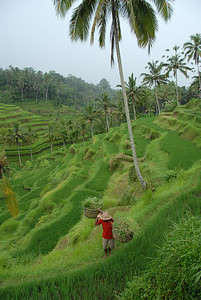 Tegalalang rice fields outside Ubud Bali