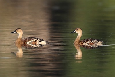 Wandering Whistling-Duck 6974