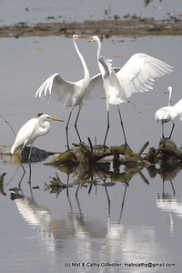 Great Egret 5107