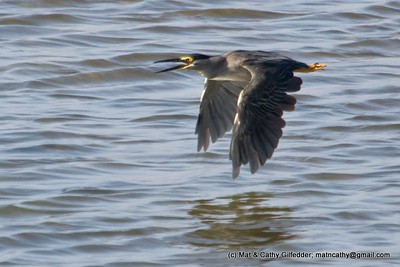 Striated Heron 0563