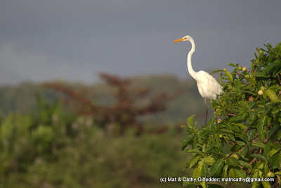 Great Egret 0699