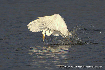 Great Egret  0681