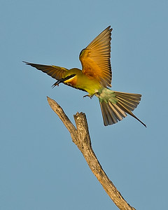 Blue-tailed Bee-eater 6873