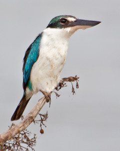 Collared Kingfisher 1675