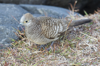 Barred Dove 8445