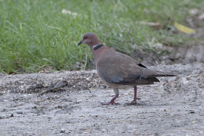 Island Collared-Dove 4238