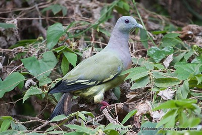 Pink-necked Pigeon 3780