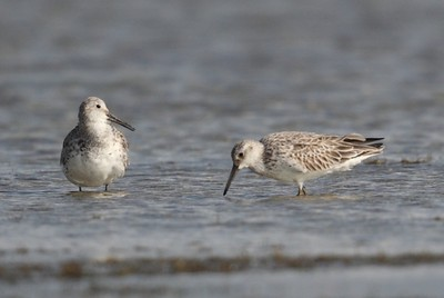 Great Knot 6558
