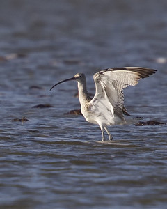 Eurasian Curlew 8071