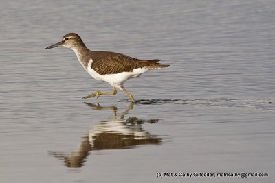 Common Sandpiper 1189