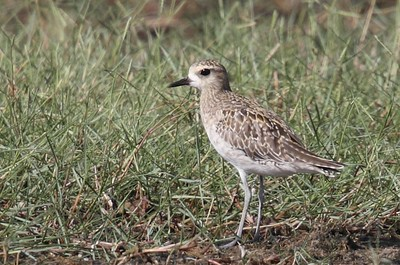 Pacific Golden Plover 7156
