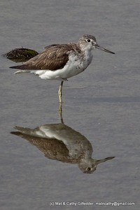 Common Greenshank 0224