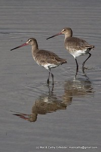 Black-tailed Godwit 0243