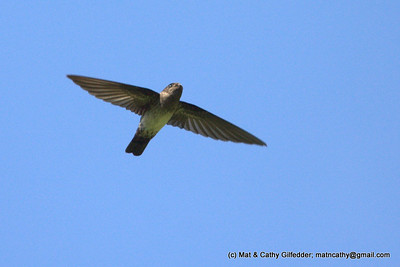 Cave Swiftlet 4957
