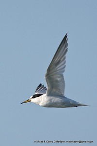 Little Tern 0550