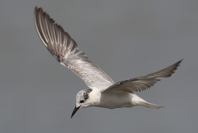 Whiskered Tern 7205