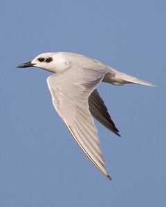 Gull-billed Tern 7999