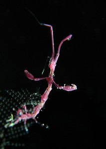 Skeleton shrimp