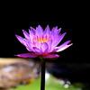 Lotus mauve