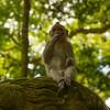 Monkey at Monkey forest, Bali