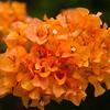 Orange Bougainvillea