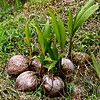 Petit cocotier deviendra grand