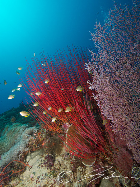 Red Sea Whip and pink Sea Fan