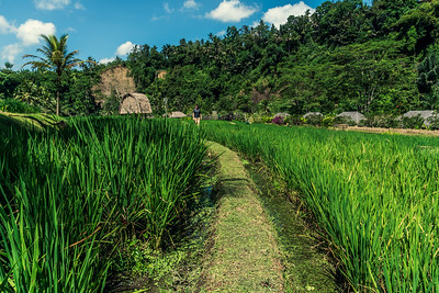 Rice paddy at Mandapa - a Ritz-Carlton Reserve.