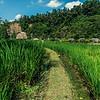 Rice paddy at Mandapa Reserve.
