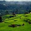 Rices Terraces of Jatiluwah