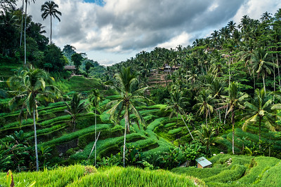 Tegalalang Rice Terrace.