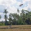 Kite in Rice Field