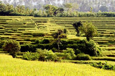 Rice Fields, Negara, Bali