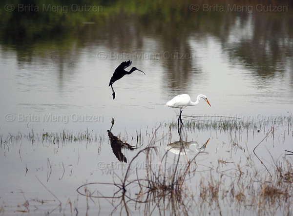 Feb. 25, 2011, Fort Myers, FL: Egrets look for breakfast in the lake behind Field 5 at the Boston Red Sox player development complex on Edison Avenue. (Brita Meng Outzen/Boston Red Sox)
