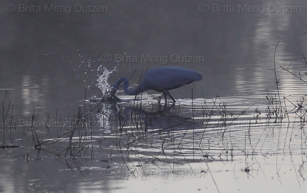 Feb. 19, 2011, Fort Myers, FL: An egret gets an early breakfast in the lake behind Field 5 at the Boston Red Sox player development complex on Edison Avenue. (Brita Meng Outzen/Boston Red Sox)