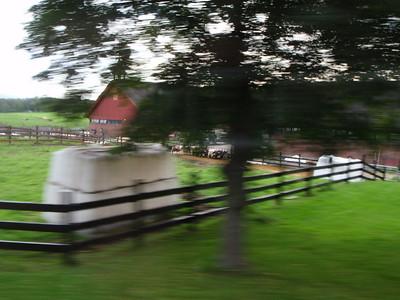 More Oslo cows!