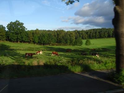 Oslo cows!