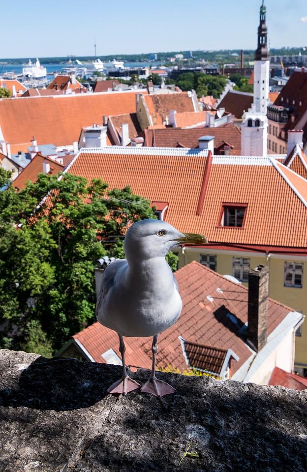 Seagull Tallinn
