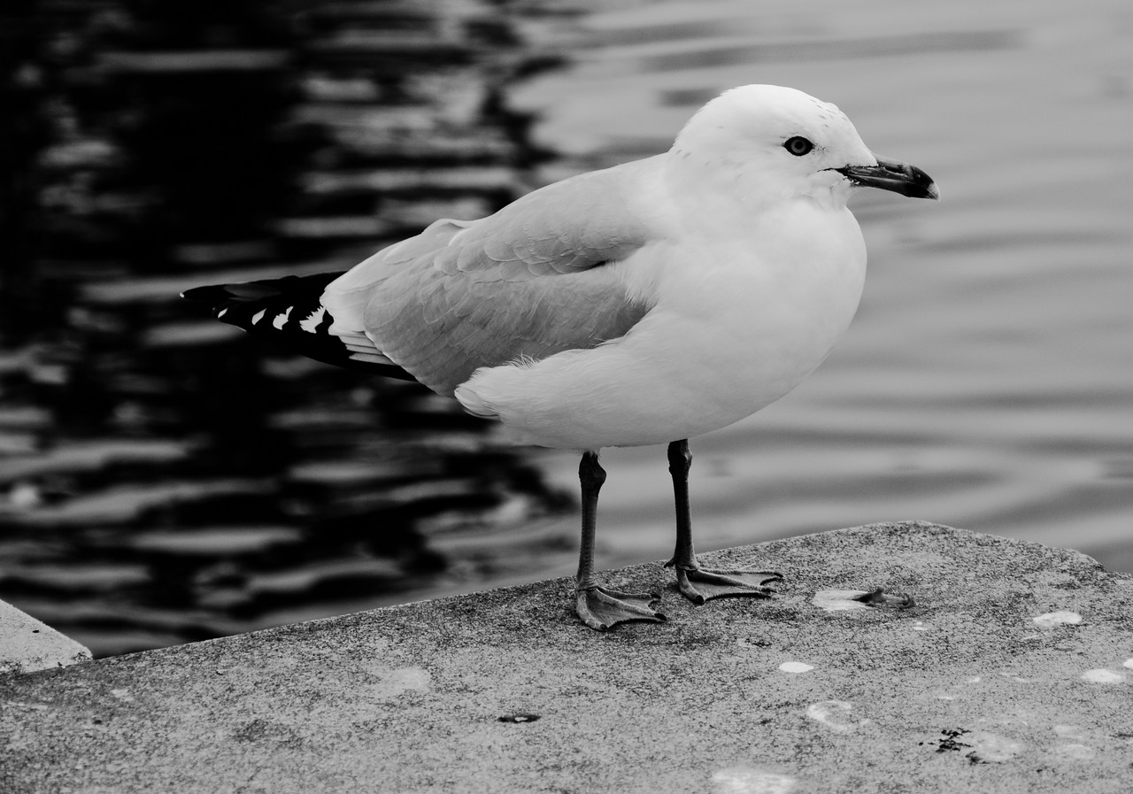 Black and white image of a seagull in Baltimore, Maryland.