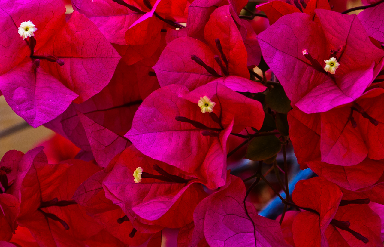 Red Flowers in Howard Peter Rawlings Conservatory, Baltimore, Maryland.jpg