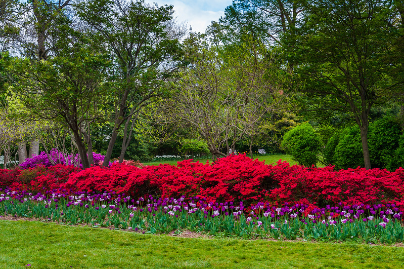 Azaleas and tulips at Sherwood Gardens Park, in Guilford, Baltimore, Maryland.