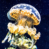 Close up of Spotted Lagoon Jellyfish