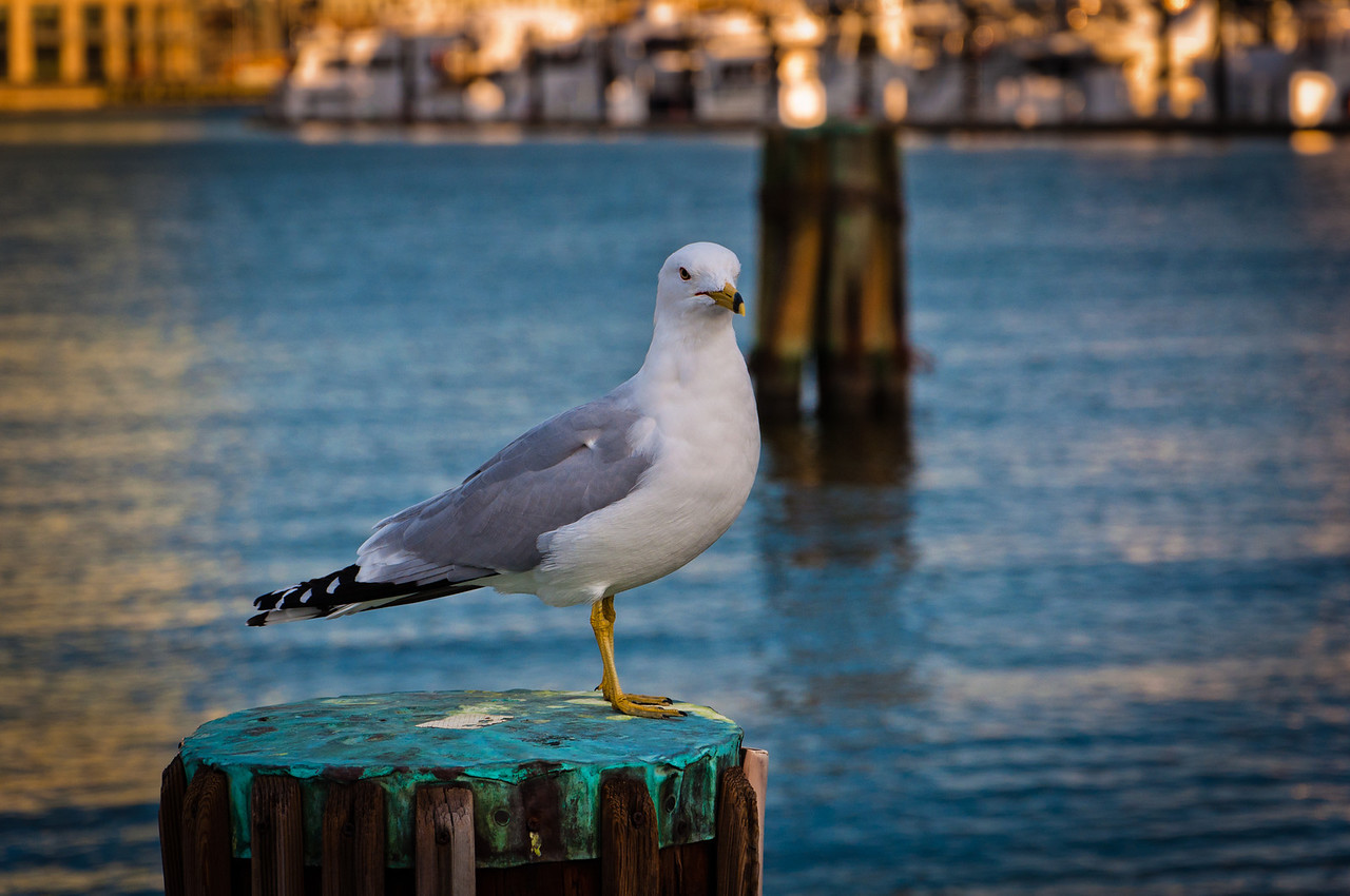 Seagull in the Inner Harbor of Baltimore, Maryland.