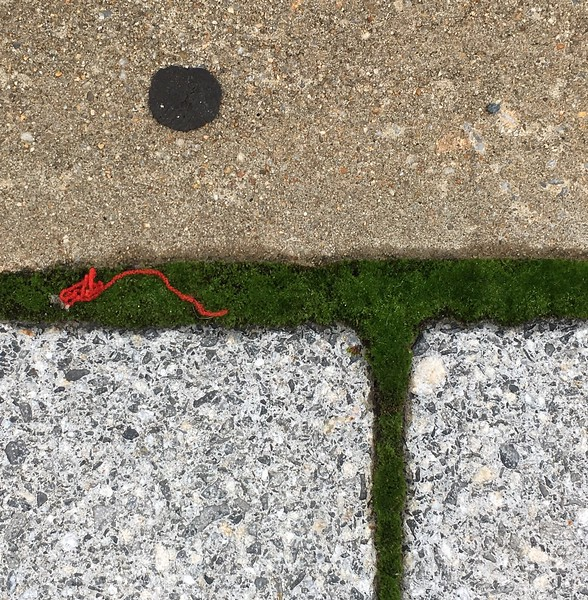 Red thread on moss (Sept 2016)